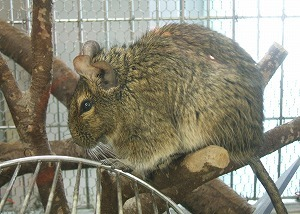 http://www.biopark.co.jp/animals/mammal/images/degu.jpg