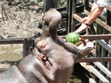 Hippo's Watermelon Time