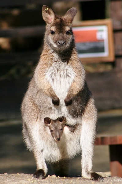 20100228wallaby1.jpg