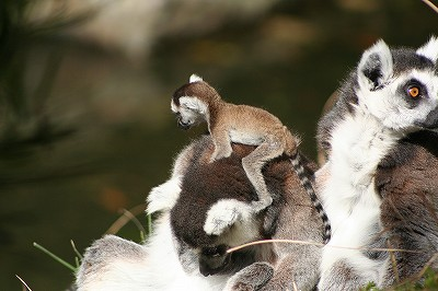 20120406ring-tailed lemur.jpg