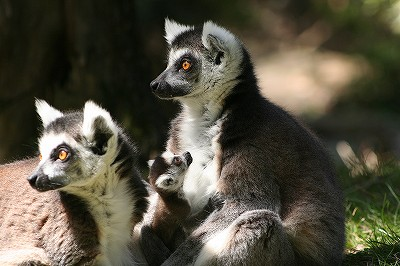 20120406ring-tailed lemur1.jpg