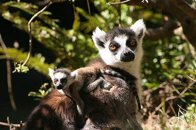 20120406ring-tailed lemur2.jpg